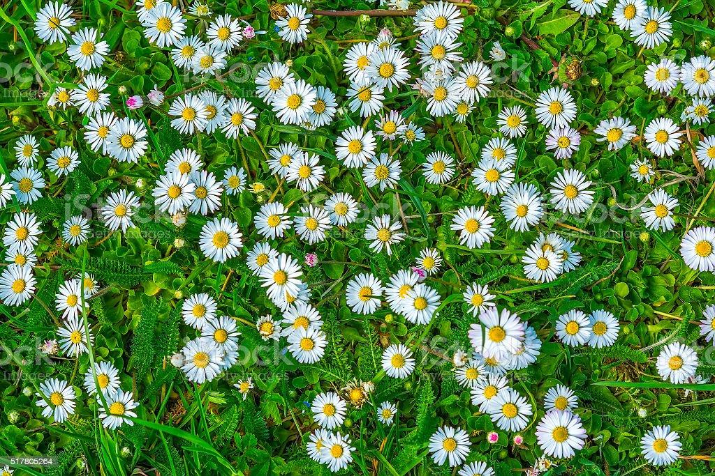 Daisy flower blossom stock photo