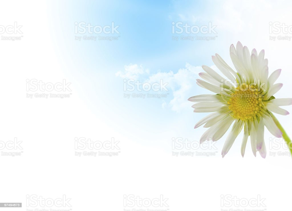 daisy flower, floral design spring season royalty-free stock photo