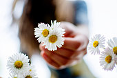 Picking the spring flowers from the meadow.Close up view on small Daisy flower in Teen girl hand.Shallow depth of field