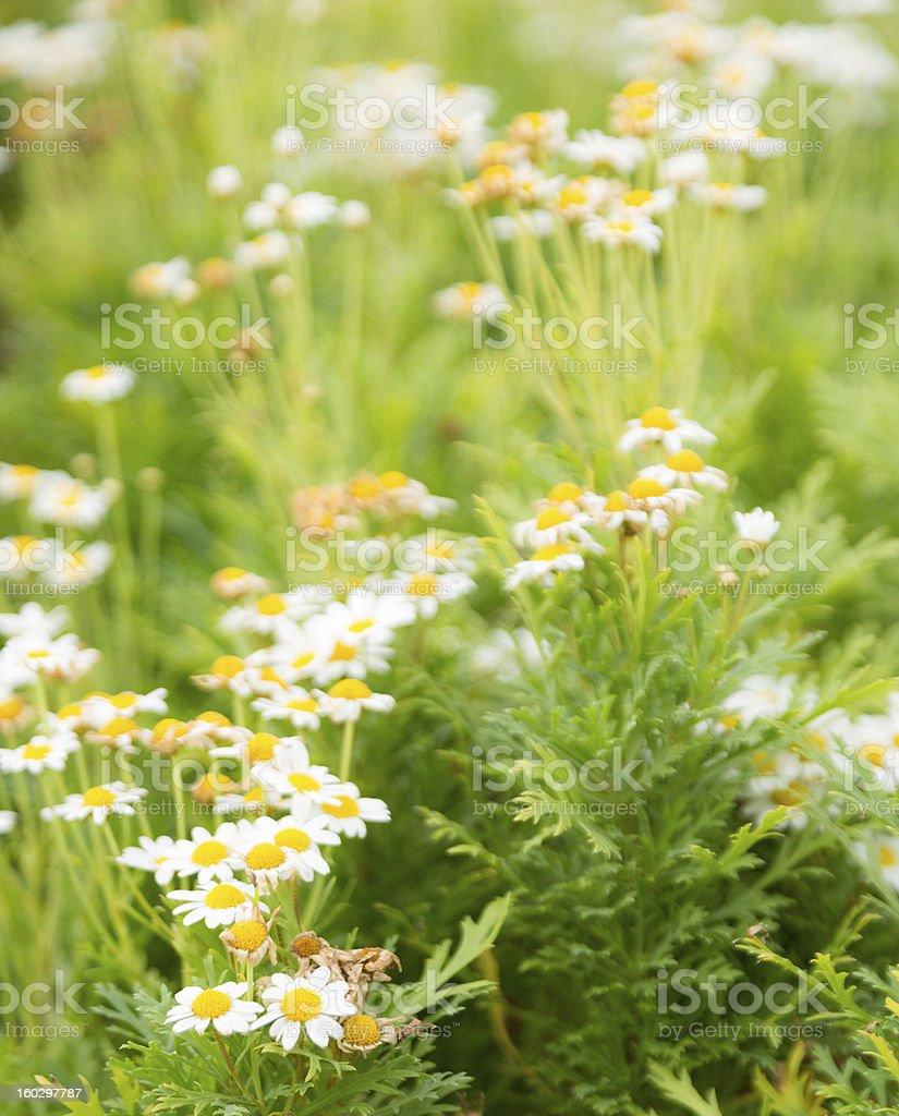 daisy flower in garden royalty-free stock photo