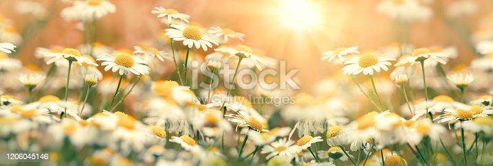 Daisy flower in meadow, flowering wild chamomile, beauty in nature