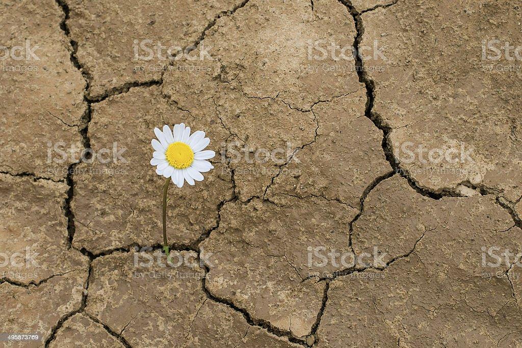 daisy flower in the desert stok fotoğrafı