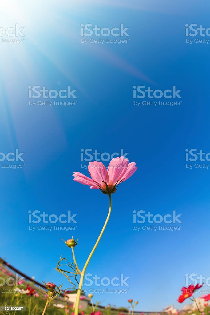 Daisy flower in the morning stock photo