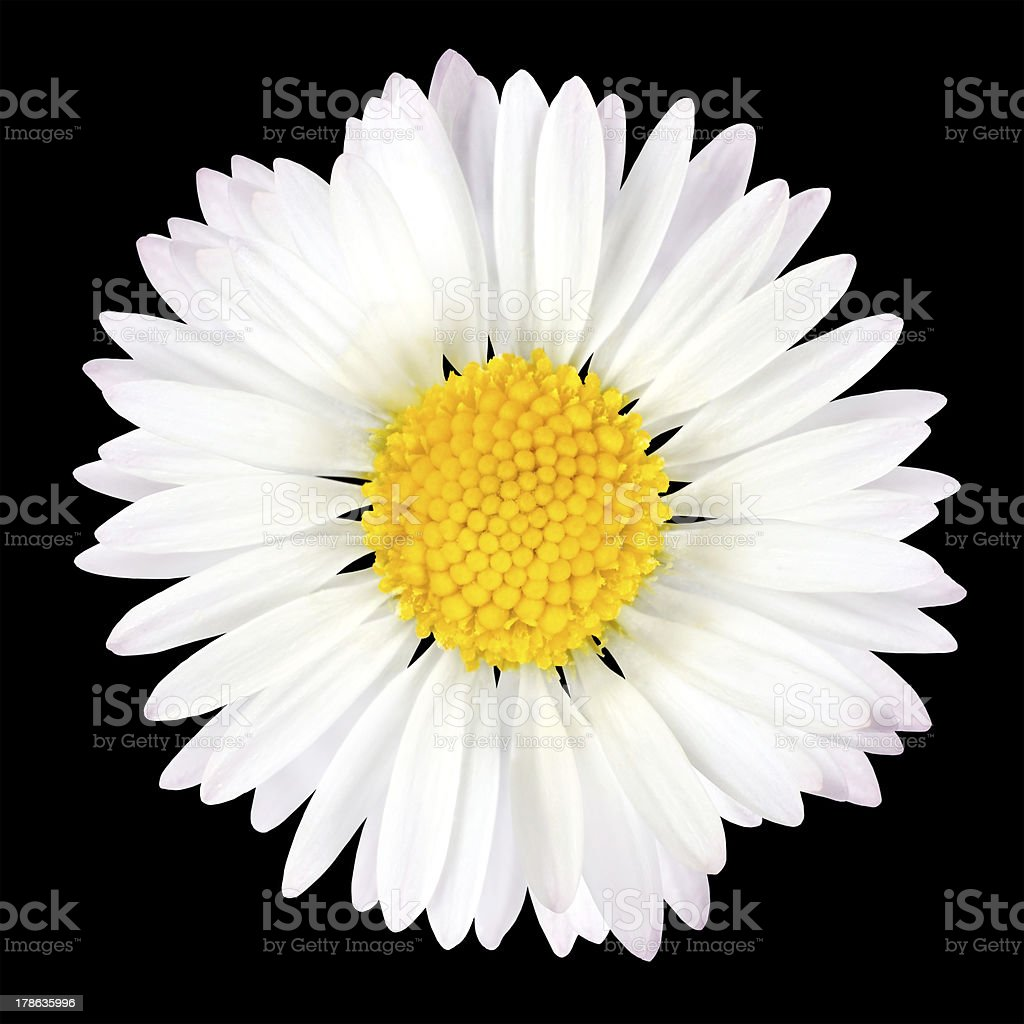 Daisy Flower Isolated on Black Background stock photo