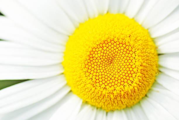 Daisy flower macro stock photo