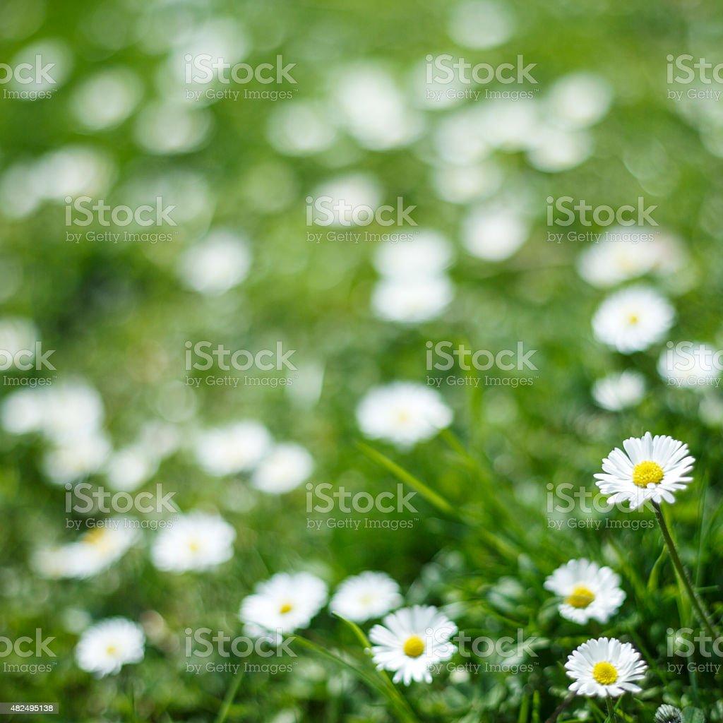 Margherite In Un Campo Di Fiori Di Primavera Sfondo Fiori Selvatici