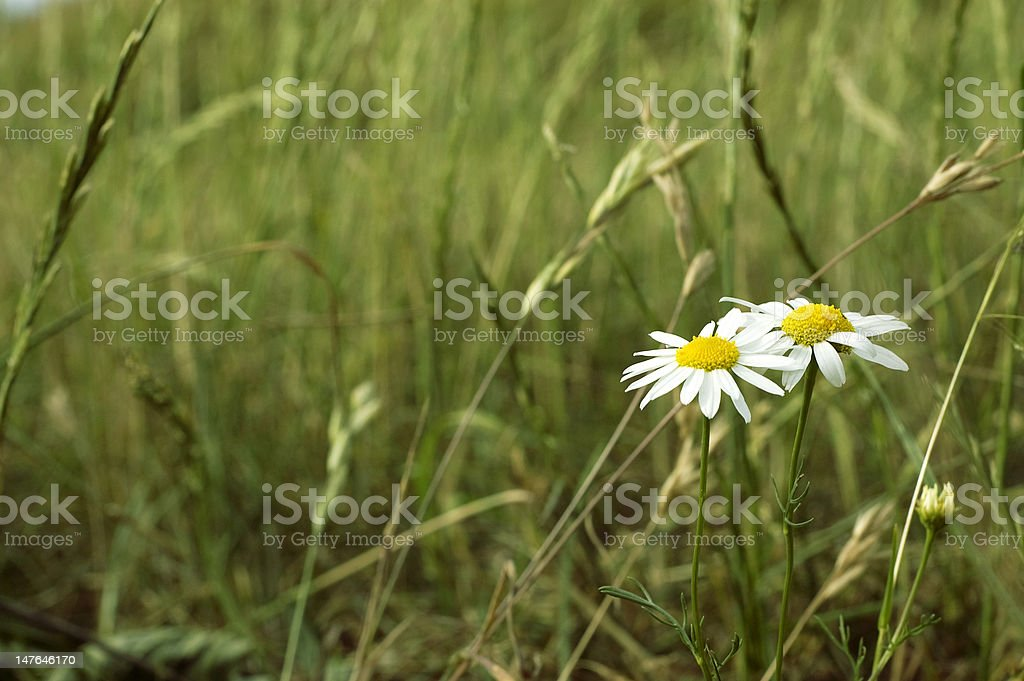 daisy flower on field background royalty-free stock photo