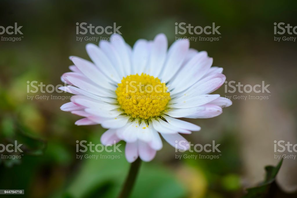 daisy flower on field with death leafs , close up. stock photo
