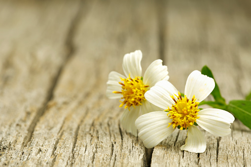 Tiny daisy flower lying on old wooden board, shot with very shallow depth of field