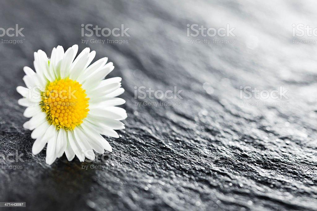Daisy Flower. – Foto