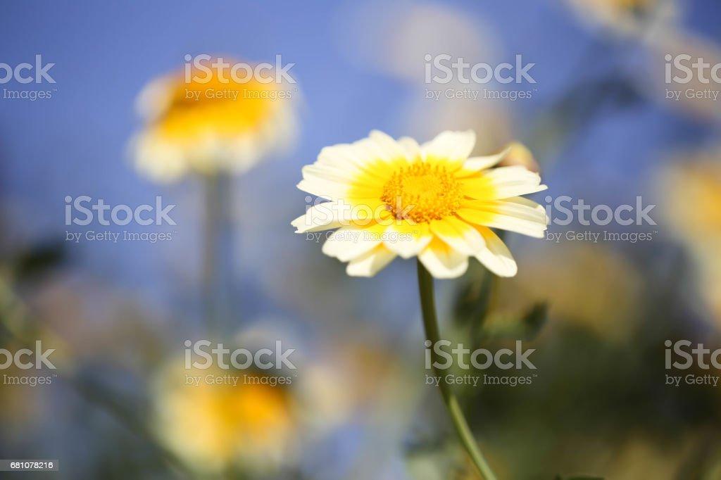 Daisy flower royalty-free stock photo