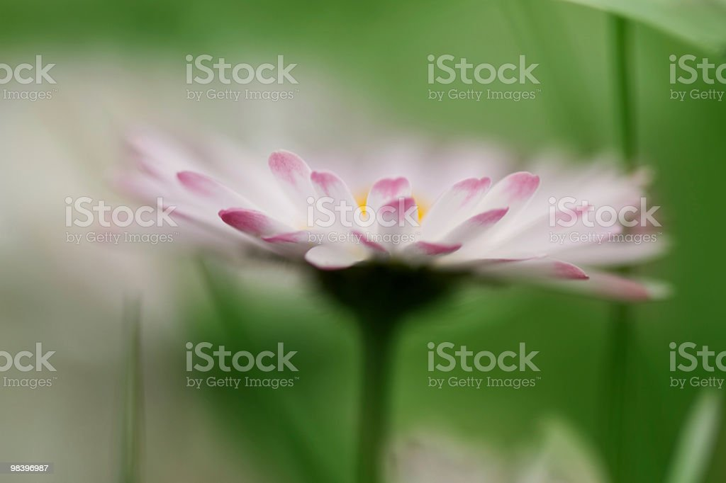 Daisy flower royalty-free stock photo