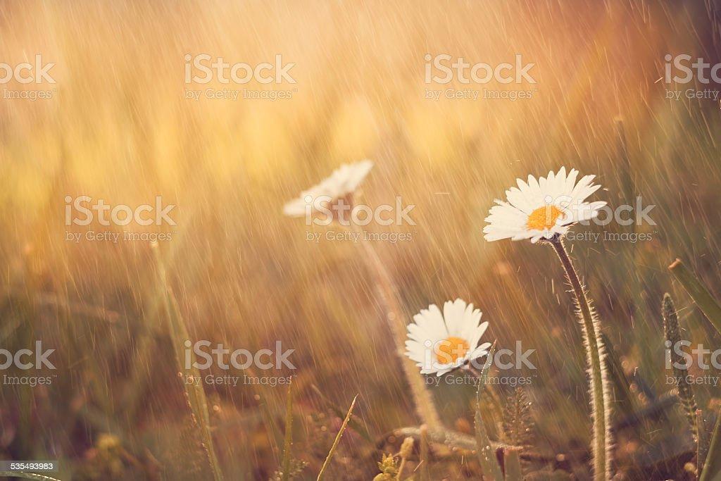 Daisy flower Regen auf Frühling meadow – Foto