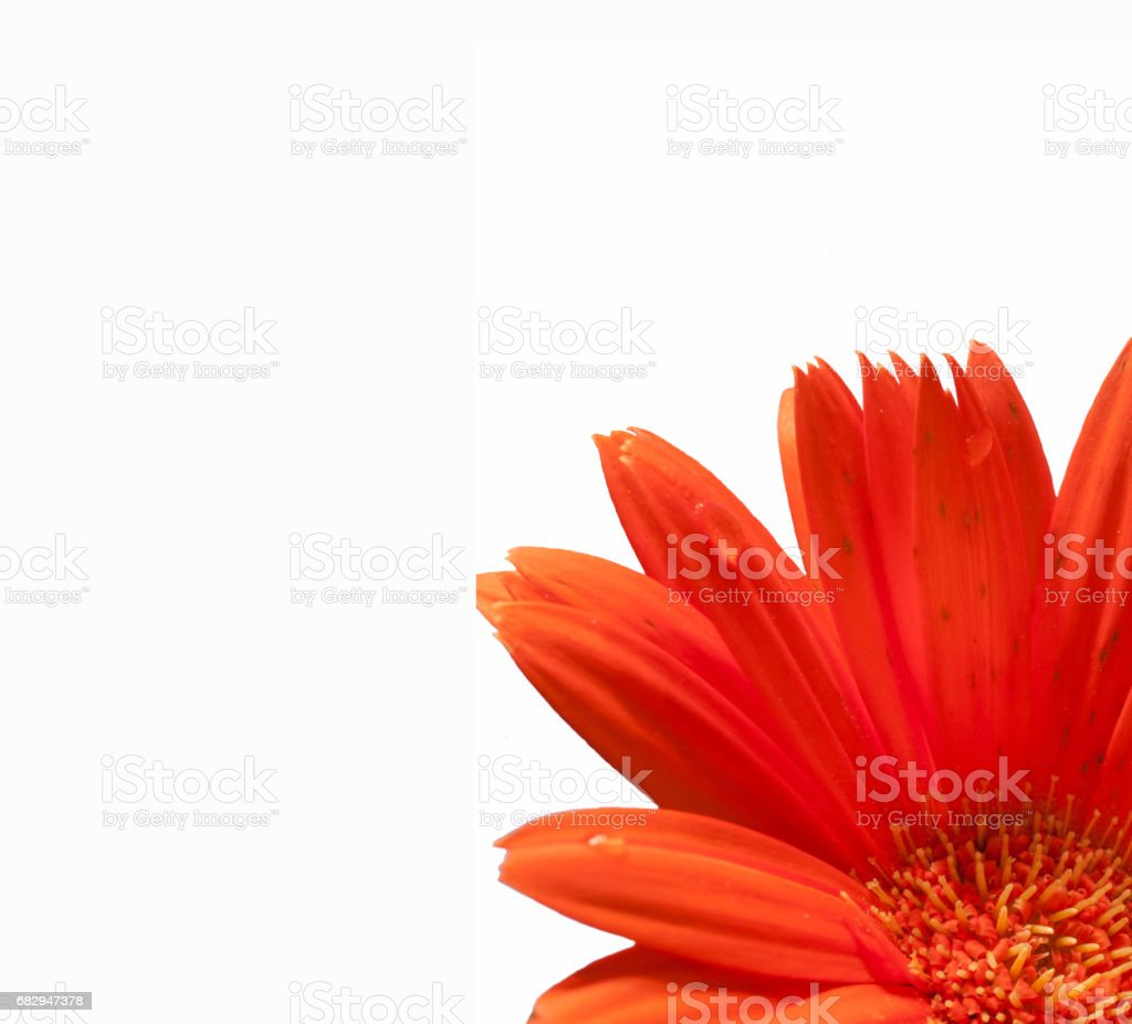 daisy flower template with orange petals on white background stock