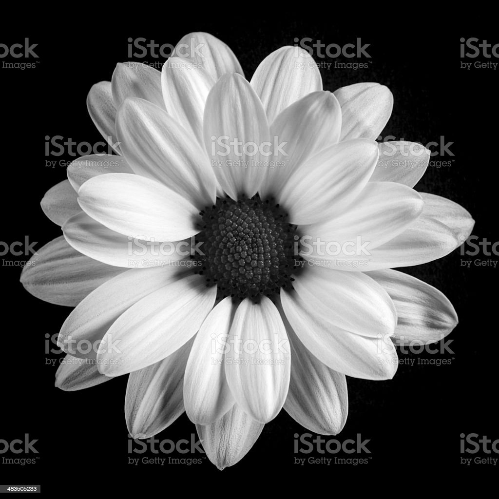 royalty free black and white daisy pictures images and