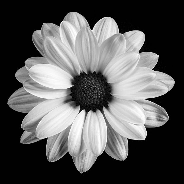 Royalty Free Black And White Daisy Pictures, Images and ...