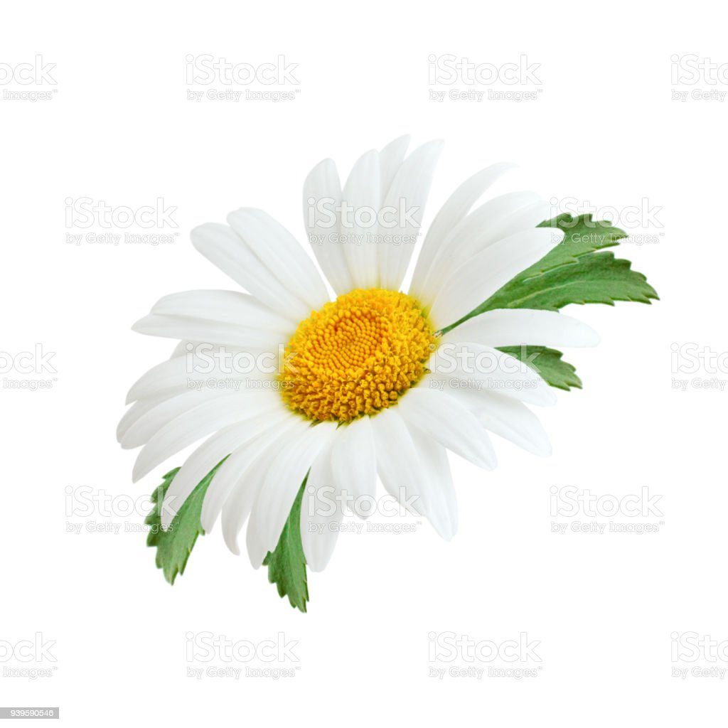 Daisy Flower With Leaves Isolated On White Background Stock Photo