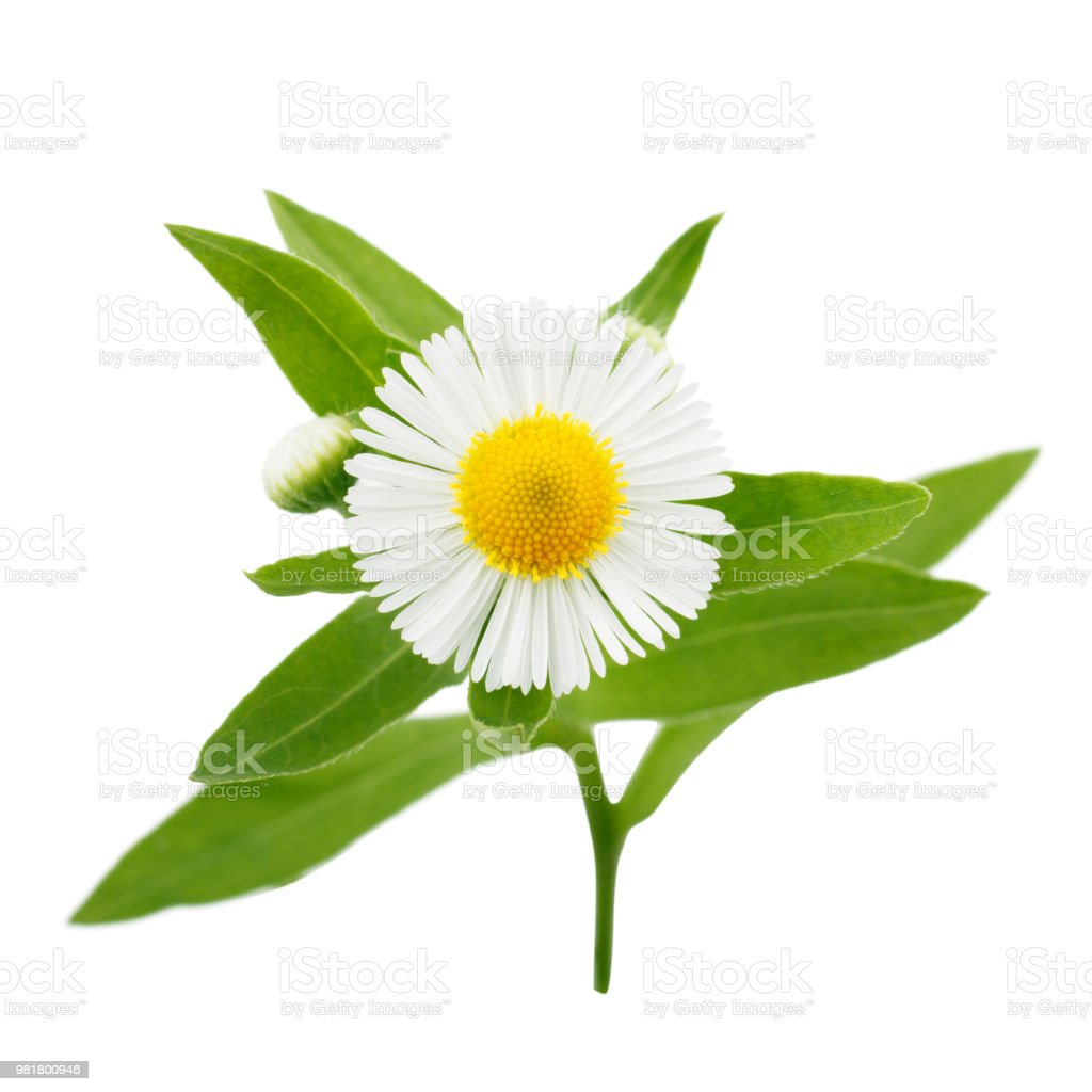 Daisy flower with leaves isolated on white background stock photo daisy flower with leaves isolated on white background royalty free stock photo izmirmasajfo
