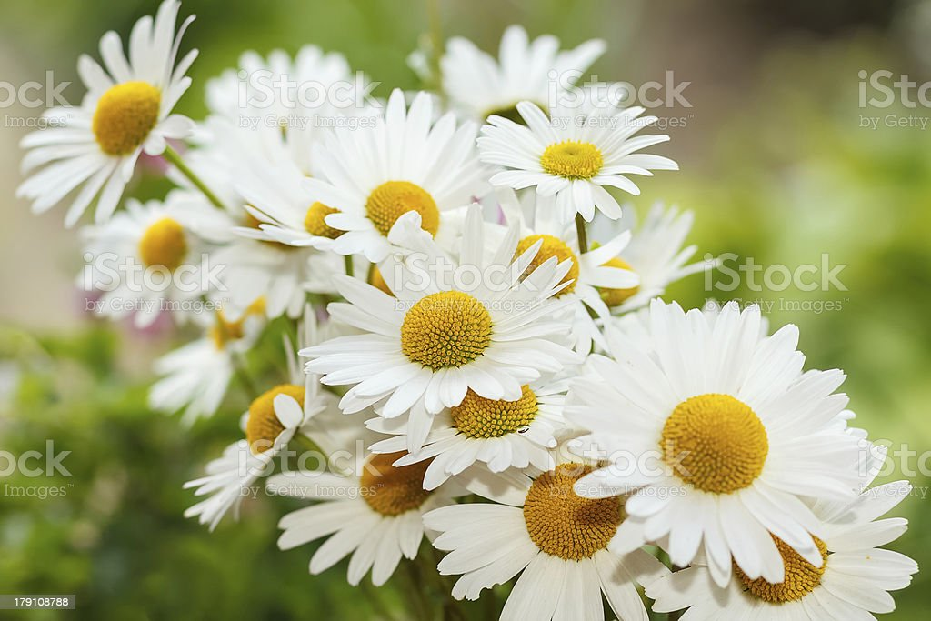 daisy flower with shallow focus royalty-free stock photo