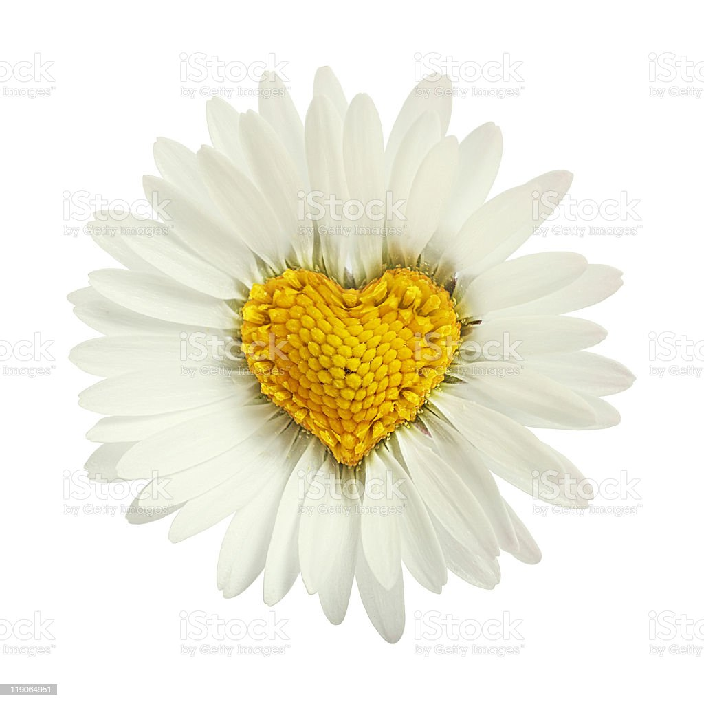 Daisy Flower With Yellow Heart Shaped Middle Stock Photo More