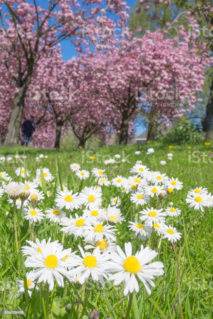 Daisy flowers and Cherry blossom on Japanese Cherry trees royalty-free stock photo