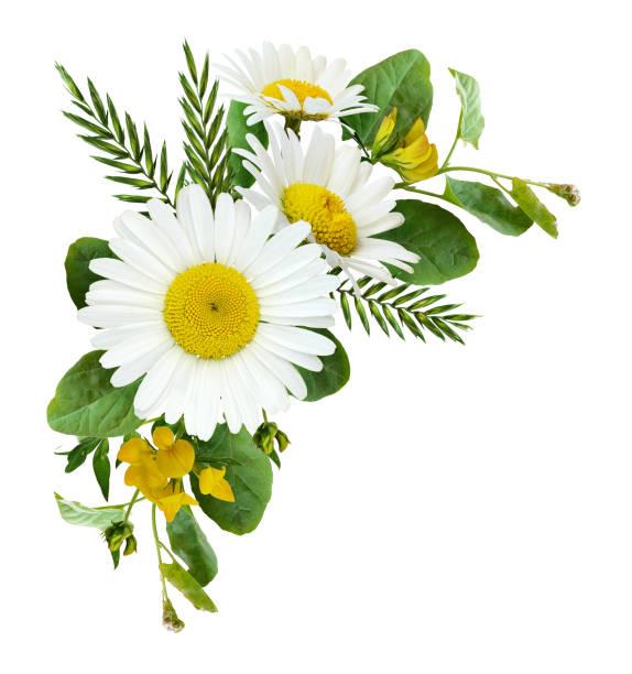 雛菊花和野生草在夏天角落安排 - 雛菊 菊科 個照片及圖片檔