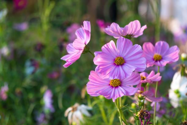 Daisy Blumen blühen – Foto