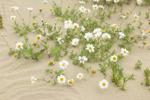 Flores de Margarita floreciendo en un desierto de arena - foto de stock