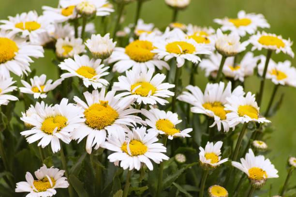 Daisy flowers closeup stock photo