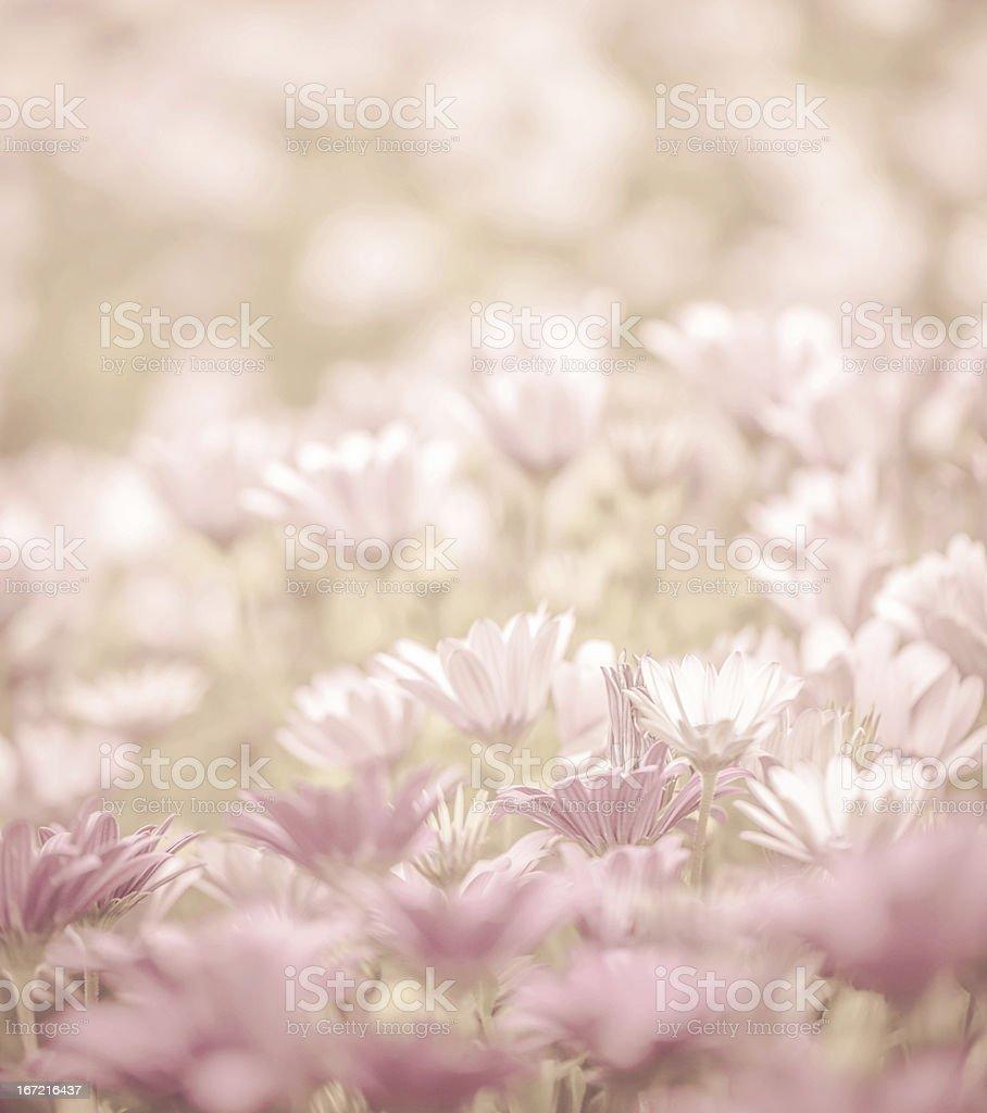 Daisy flowers field royalty-free stock photo