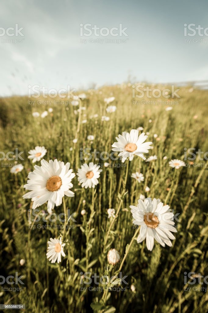 Daisy flowers in a springtime meadow royalty-free stock photo