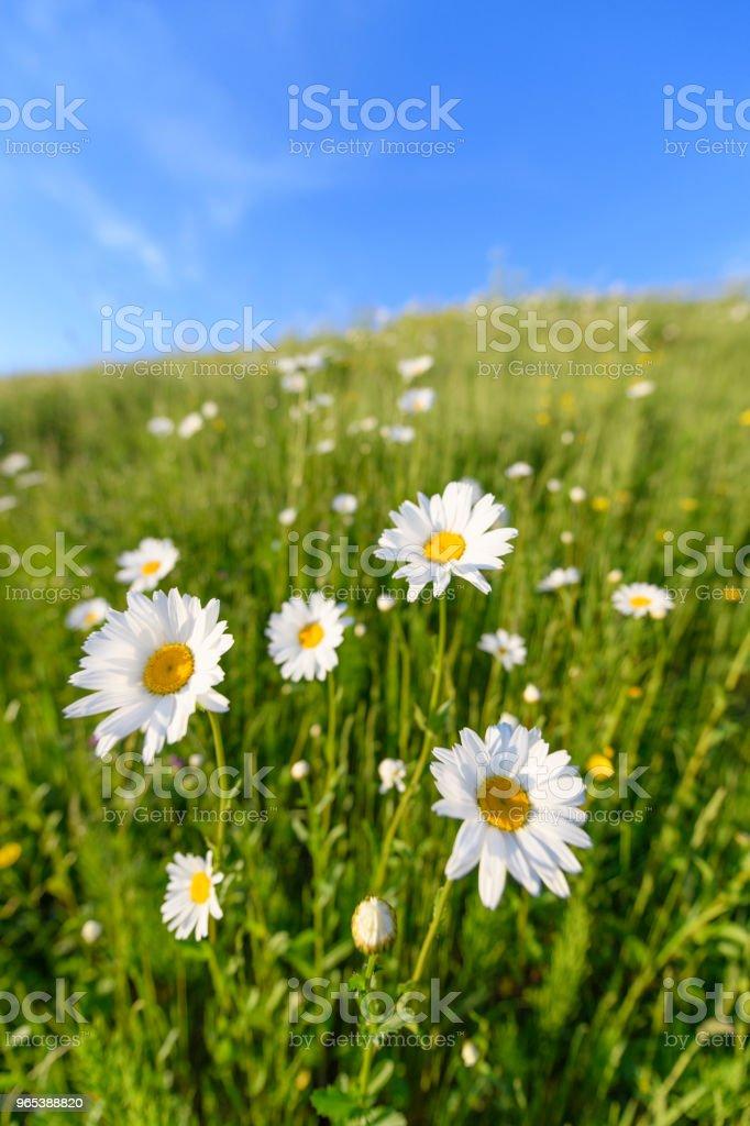 Daisy flowers in a springtime meadow zbiór zdjęć royalty-free