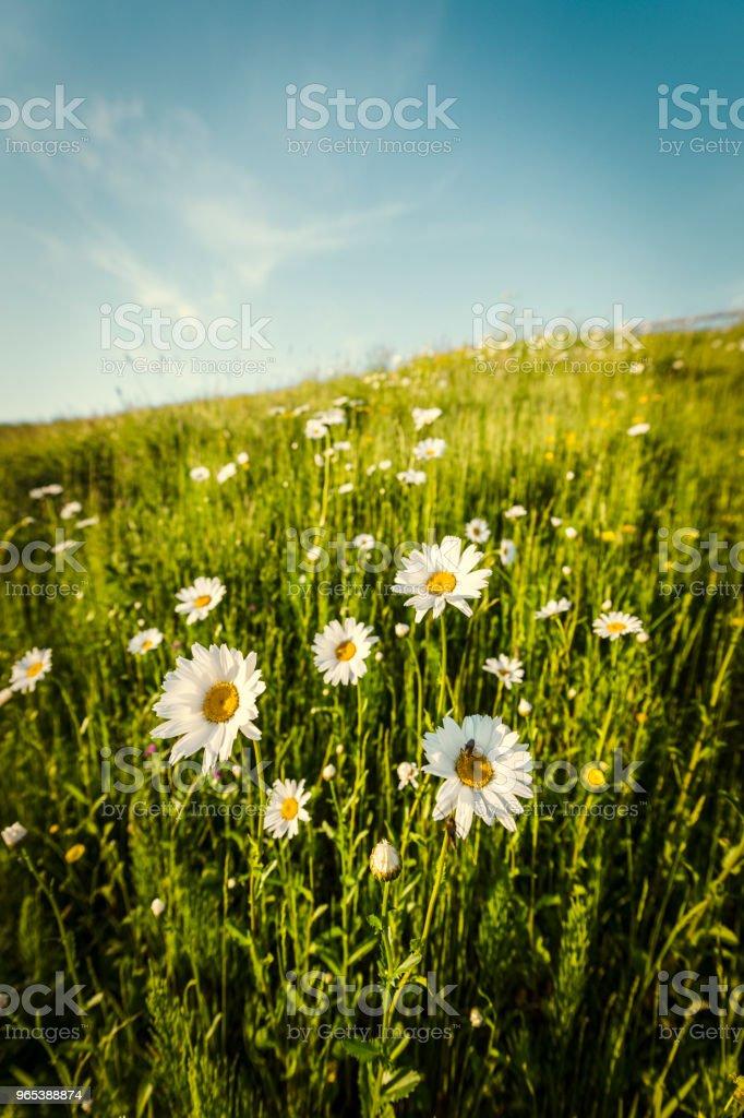 Fleurs de Marguerite dans une prairie de printemps - Photo de Anthémis libre de droits