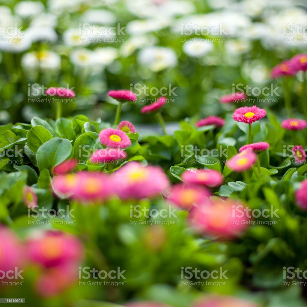Daisy flowers in big plastic box stock photo