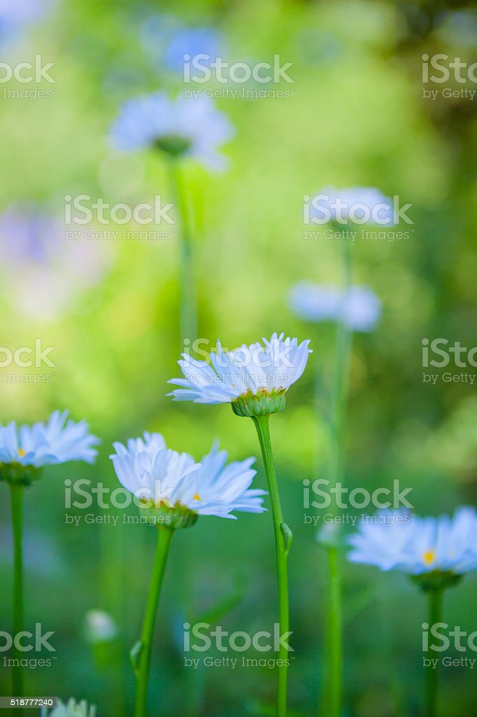Daisy flowers in the field stock photo