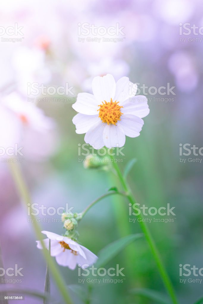Daisy flowers in the garden. stock photo