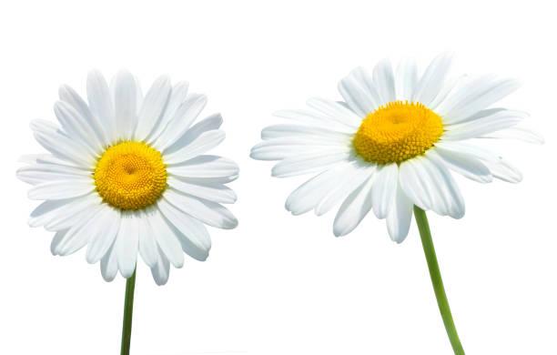 Daisy flowers isolated on white background stock photo