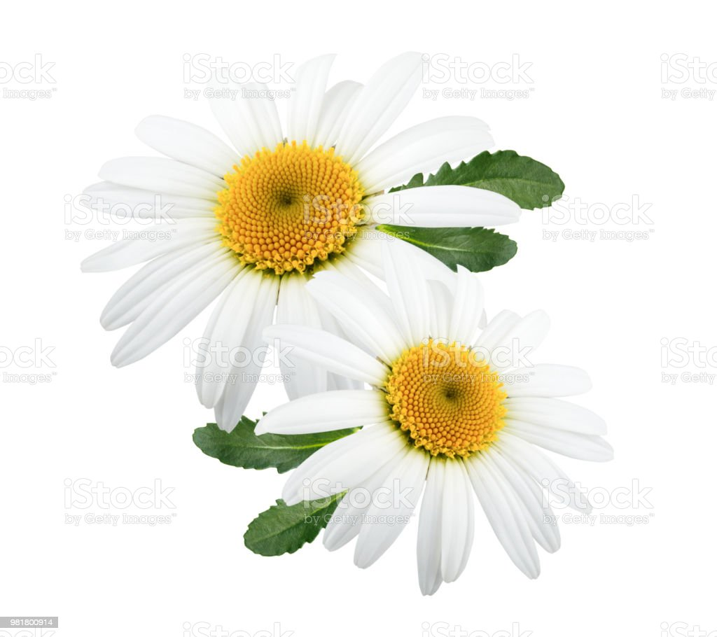 Daisy flowers isolated with leaves on white background stock photo daisy flowers isolated with leaves on white background royalty free stock photo izmirmasajfo