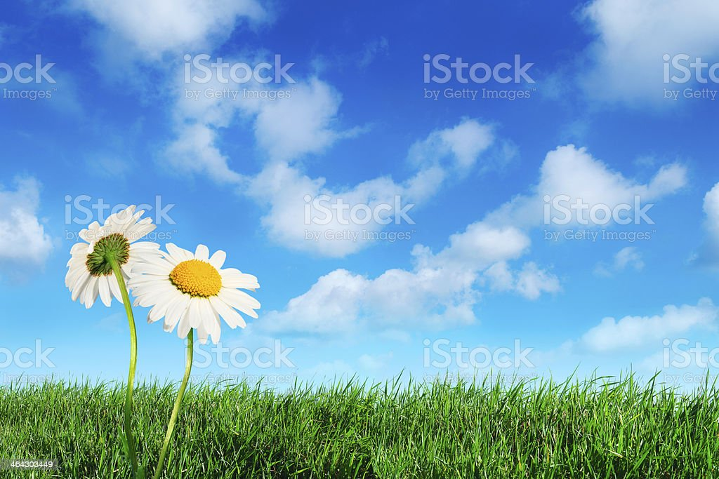 Daisy flowers on green grass royalty-free stock photo