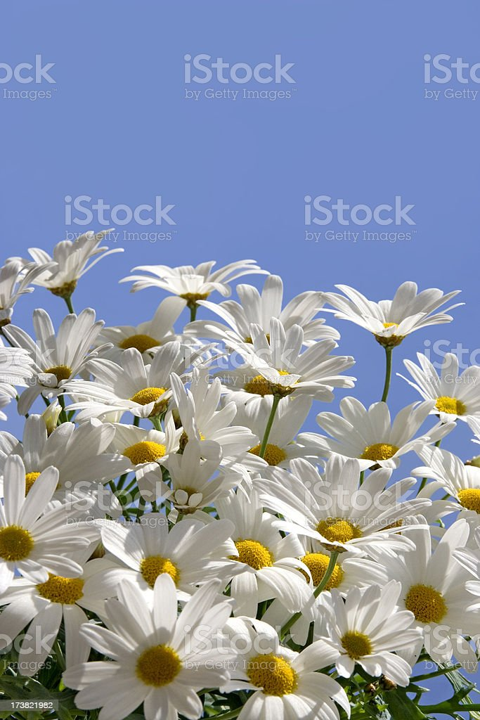 daisy flowers or marguerite royalty-free stock photo