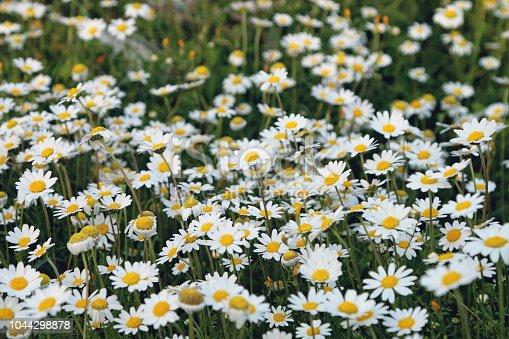 Daisy flowers field.