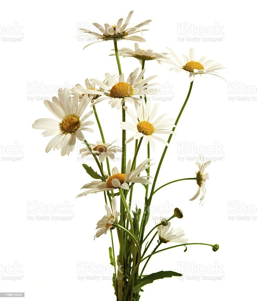 daisy flowers royalty-free stock photo