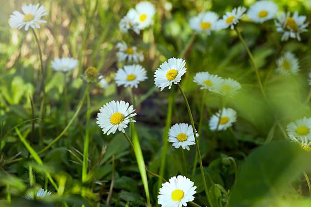daisy flowers - byakkaya stok fotoğraflar ve resimler