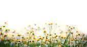 Daisy flowers against white background.Sunlight.