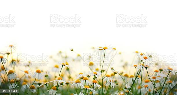 Daisy flowers picture id491996491?b=1&k=6&m=491996491&s=612x612&h=g8z5wbnlpuitbvwl1adzolg m5qjtikst8za uvfwm8=