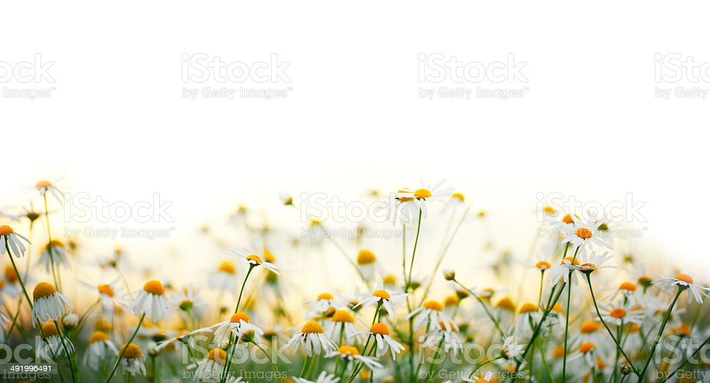 Daisy Flowers stock photo