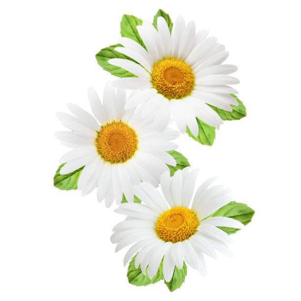 margarita flores - planta de manzanilla fotografías e imágenes de stock