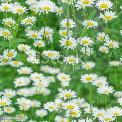 Natural seamless pattern with many white chamomile flowers on a green spring meadow close-up