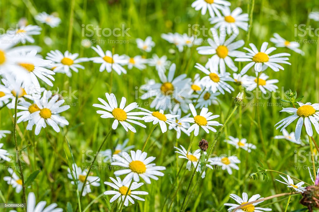 Daisy flowers with beautiful colors stock photo