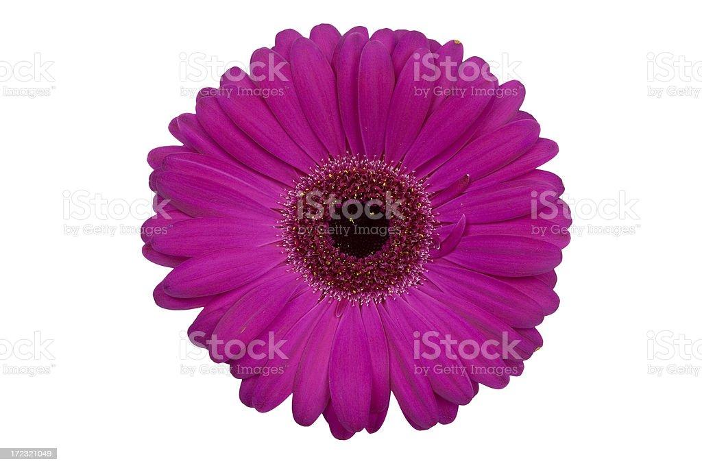 Daisy, Gerbera (Magenta) XL royalty-free stock photo